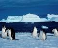 Учени преброиха близо 600 000 пингвина на Антарктида