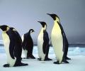 Учени намериха останките на най-големия пингвин, който е обитавал Земята