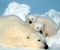 Близо 5000 бели мечета се раждат в Арктика в края на декември
