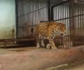 Упоиха леопард, нахлул в училище в Индия