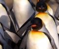 Внедряват робот сред пингвини с научна цел